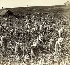The Largest Field of Tobacco in the World, Montpelier, Jamaica | by The Caribbean Photo Archive