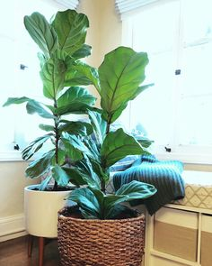 Fiddle Leaf Fig Fanatic! How to Propagate Plants from Cuttings – Jewels at Home