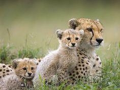 Big Cat Diaries   Cheetah Mother and Cubs Maasai Mara Reserve Kenya