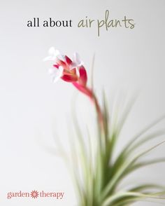 Attach This Info. To Your Air Plant Wreath Gift // all about air plants - planting, care, blooming and more