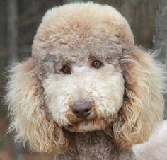 If you were at all like myself when you first got into Poodles, all the color names and technicalities confused you. Sad Eyes, Color Names, So Little Time, Eye Color, Dogs And Puppies, Poodles, Teddy Bear, Pictures, Gatsby