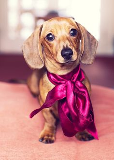 Doxie love. The ribbon is adorable on her!