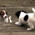 Too cute - seven week old JRT puppies enjoy some play time outside!    My little girl was like this once upon a time.
