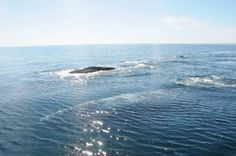 This video features a group of single gray whales moving through Bahia Magdalena, Baja California Sur, Mexico photographed by LSIESP researcher Hiram Nanduca R.