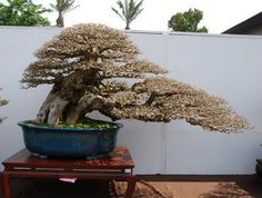 Bonsai Gallery 2