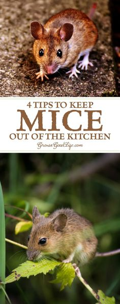 It is common for mice to seek out a warm place for winter. Often times, they find their way into your home. Here are some tips to keep mice out of your kitchen.