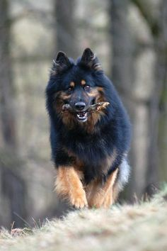Bohemian Shepherd, a Czech variant of the GSD, possibly a progenitor of the German and American GSDs.