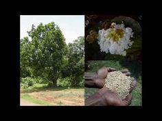 Medicinal Rice B4 Formulations for Lappula Allergy: Pankaj Oudhia's Medi...
