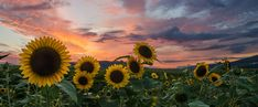 Sunflowers by Dominic Walter - Photo 67216429 / Facebook Cover Photos Flowers, Cover Pics For Facebook, Facebook Header, Fb Cover Photos, Twitter Cover, Cover Photo Quotes, Facebook Quotes, Cover Quotes, Capas Facebook Tumblr