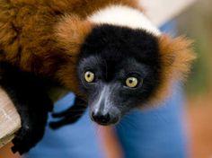 Extinct Lemurs of Madagascar   12 whoa lemurs 13 lemurs sunning 14 sn lemurs thumb
