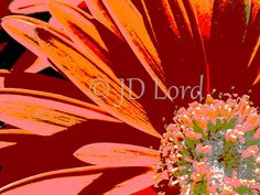Abstract Gerbera Daisy Orange 5 x 7 Fine Art Photograph by JDLord, $8.00