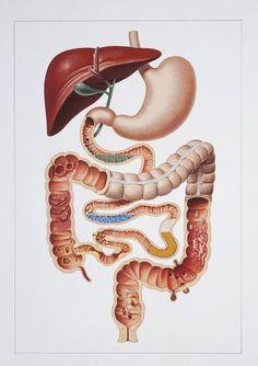 """Jacqueline Warnet : """"Je crois qu'on ne savait pas qu'on était 10% humain et 90% bactérien"""" Schéma de l'appareil digestif"""