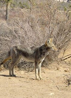Even in the challenging climate of the Mojave Desert, Joshua Tree National Park is full of living things like the coyote - Click for tips.