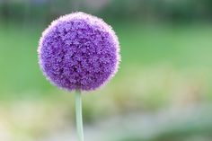 Allium (Flowering Onion)  looking forward to seeing these in the spring 2014