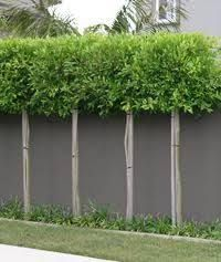 Image result for best trees to pleach