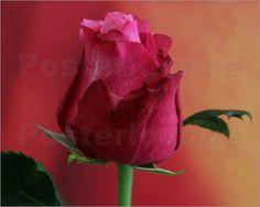 Rote Rose Poster von Anke Brehm