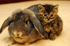 The Rabbit and Her Kittens: When Melanie Humble took in a litter of 5-week-old kittens, she expected her cat to take over the mothering duties. To her surprise, her then-outdoor bunny came indoors and began to treat the kittens as her own!