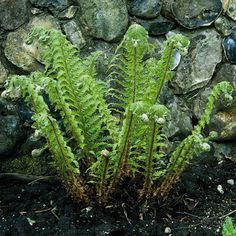 Hard Shield Fern Polystichum aculeatum  A spreading fern for woodland settings. Bears bright yellowish green fronds in spring that mature to glossy forest green. Ideal plant under shade trees or to cover exposed areas between shrubs. Perfect between boulders in naturalistic water features.