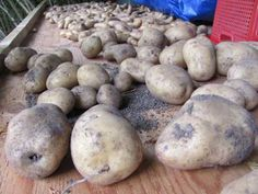 Potatoes are one of the easiest and most prolific home garden vegetables. The taste of freshly dug potatoes is a far cry from the starchy flavourless pulp that results from grocery store varieties bred for size and storage. Potatoes are so easy to grow that it is almost impossible to fail with them. But people…