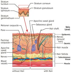 Integumentary system facts now lets talk about the dermis the integumentary system facts jpeg integumentary system facts are provided in short in the following ccuart Choice Image