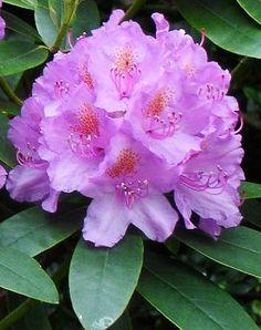 Rhododendron Shrub Care.