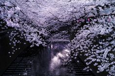 Cherry Blossoms over the Meguro River in Tokyo