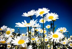 LOVE daisies. look forward to these every spring