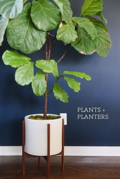 Fiddle Leaf Fig Tree - Care Tips and planter suggestion! Indoor Fig Trees, Indoor Plant Pots, Outdoor Plants, Indoor Flowers, Tree Planters, Fiddle Leaf Fig Tree, Fiddle Fig, Hanging Succulents, Tall Plants