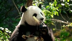 Funny Panda Pictures, Bear Pictures, Baby Panda Bears, Baby Pandas, Wildlife Photography, Animal Photography, Wild Animals Videos, Panda Gif, Cute Panda