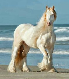 HORSE: Stunning white grand GYPSY VAN with  flowing white mane, tail and  hoof feathers standing in the sand against crashing ocean waves.