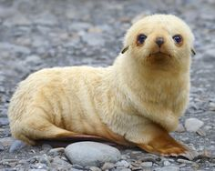 Blondie - An Antarctic Fur Seal pup sits on a beach - South Georgia, South Atlantic.  photo by Tony Beck
