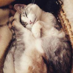 """monaka-an: """" おはようございます。いつもカワイイを振りまいてますよ #cat #ねこ #ネコ #猫 #三毛猫 """""""