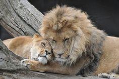 Lions animal-kingdom-vertebrates