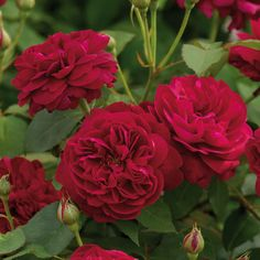 Картинки по запросу the prince david austin gardens rose