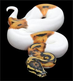 Ball Python (Python regius) piebald color morph