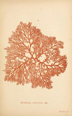 From: 'Sea mosses a collector's guide and an introduction to the study of marine Algae' By A. B. Hervey. 1893