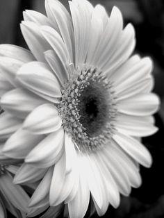 Gerbera Daisy Photograph  - Gerbera Daisy Fine Art Print