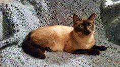 D Chapin's cats ~ Snickerdoodles