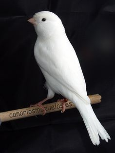 White canary (morph of Yellow Canary? Cute Birds, Pretty Birds, Small Birds, Little Birds, Colorful Birds, Beautiful Birds, Animals Beautiful, Tropical Birds, Funny Animals