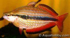 Melanotaenia trifasciata Goyder River Rainbowfish, Banded Rainbow Fish