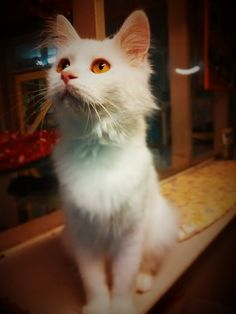 Yuki-https://www.facebook.com/Independent-Cat-Society-Playpens-Page-432225636826080/?fref=ts