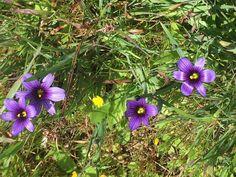 Sisyrinchium vellum Blue eyes grass