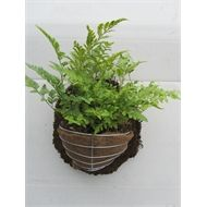 200mm Fern In Half Basket On Slab Bunnings Warehouse