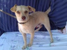 Carmello is an adoptable Terrier Dog in Lomita, CA. He is up to date on all of his shots and waiting to find his forever home.