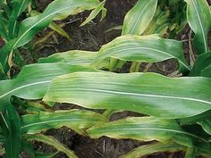 Potassium deficiency in corn. This page makes the point that it can look similar to nitrogen deficiency in corn, but N deficiency progresses from the leaf tip downwards while K deficiency progresses from the leaf margins inwards.