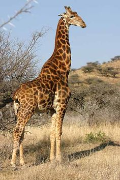 Giraffe standing, side-on
