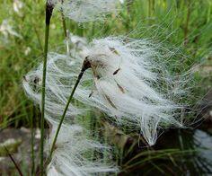 Klófífa – Eriophorum angustifolium (Common Cotton-grass)