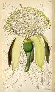 v.76 [ser.3:v.6] (1850) - Curtis's botanical magazine. - Biodiversity Heritage Library