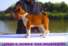 Available For Sale   NOK'S AMITY THE BEAUTIFUL ตามรูป  Red-white Female   Born 17 NOVEMBER 2013   Tel. 088 239 7454 K.NOK