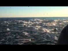 """Epic dolphin stampede filmed near Dana Point, Cali"" HuffingtonPost.com"
